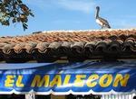 Pelican on El Malecon roof on waterfront of Puerto Vallarta