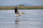 Great White Pelican taking flight in the Danube Delta