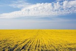 Romanian rapeseed field in spring in Dobruja region near Black Sea port of Constanta