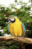 Saba: Pet parrot on the Dutch Caribbean island