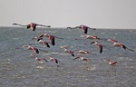 Greater flamingos flying over Sandwich Harbour near Walvis Bay, Namibia