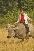 Vietnamese boy riding water buffalo in countryside near Lao Cai in northern hill country