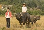 Vietnamese farm girls with water buffaloes in countryside near Lao Cai in northern hill country