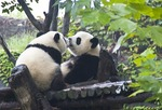 Kissing giant pandas at Chengdu Panda Breeding and Research Center in Sichuan