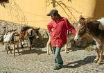 San Miguel de Allende burro wrangler on city street