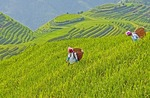 Longji terraces at Ping'an Village, with Zhuang nationality women in rice paddy, in Longsheng County of Guangxi