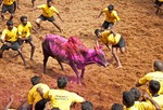 Jallikattu bull tamers surround bull decorated with colorful powders during the Pongal Festival event in village of Alanganallur in Tamil Nadu