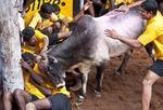 Jallikattu bull tamers at mercy of a bull during the Pongal Festival event in Alanganallur, near Madurai, in Tamil Nadu, India.