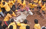 Jallikattu bull tamers surround bounding bull during the Pongal Festival event in village of Alanganallur in Tamil Nadu