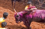 A determined Jallikattu bull tamer holds on to the hump of a fleeing bull long enough to claim a prize during the Pongal Festival event in village of Alanganallur in Tamil Nadu, India.