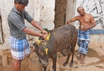 Village men decorate a young bull for the Pongal Festival, an ancient harvest celebration, in village of Alanganallur in Tamil Nadu, India.