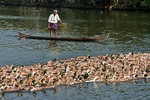 Man in canoe herding ducks on the tropical Kerala Backwaters on the Malabar coast of South India.