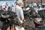 Water buffaloes for sale in market in village in North Kerala