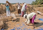 Women threshing rice by hand in field in North Kerala
