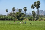 Farm workers in Tamil Nadu rice paddy with Western Ghats in background.