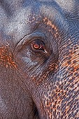 Eye of Asian elephant in India