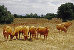 Cattle in pasture in the Dordogne Valley region north of Albi, France.