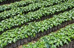 Coffee seedlings at plantation in Antigua, Guatemala