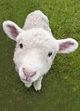 New Zealand lamb on farm near Matamata (Hobbiton Farm Tour)