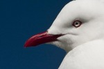 New Zealand seagull