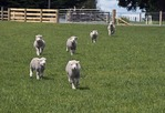 New Zealand lambs on farm near Matamata (Hobbiton Farm Tour)