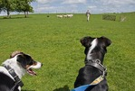 Border collies watching Kiwi farmer herd sheep with third sheep dog on Hobbiton Movie Set &amp; Farm near Matamata on North Island