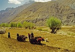 Tibetans spring plowing with yak teams and planting barley