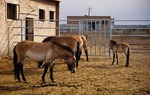 "Przewalski's horses, desert wild horses that is ""living fossila"" at Xinjiang Wild Horse Breeding Center, a research breeding station in Jimsar County, Xinjiang."