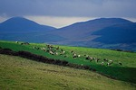 Cattle grazing in a pasture on the Dingle Peninsula in County Kerry, Ireland.