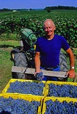 William Cronenwett with his grape harvest from first commercial grape farm in Michigan in Lawton