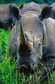 White Rhino in South Africa's Kruger Park region