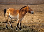 "Przewalski's horse, desert wild horse that is ""living fossil"" at Xinjiang Wild Horse Breeding Center, a research breeding station in Jimsar county, Xinjiang, China."