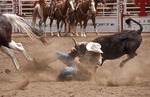 Steer Wrestling take down at the Calgary Stampede 2012.