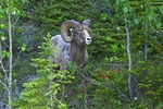 Bighorn Mountain Sheep in summer near Medicine Lake in Jasper National Park, Alberta