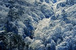 Snow covered pine forest in winter at Huangshan National Park (Yellow Mountain)