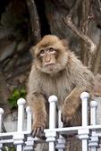 Gibraltar monkey (ape) or Barbary macaque (Macaca sylvanus).