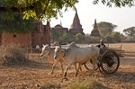 Ox cart and temples on Bagan Plain of Myanmar.