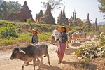 Village girls herding cattle past ancient stupas in ruins near Indein village on Inle Lake, Shan state.