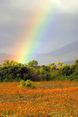 Namaqualand National Park, South Africa, spring wildflowers and rainbow.