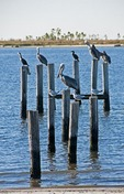 Sea birds on pilings along Biloxi shore of Mississippi Sound on Gulf Coast.