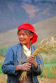 Young woman farm worker harvesting barley in Lhasa Valley of Tibet