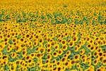 Sunflower field in Provence near Albi, France.