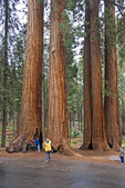 Tourists at Parker Group of trees in Sequoia National Park, California.