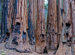 Sequoia trees scarred by forest fires in Sequoia National Park.