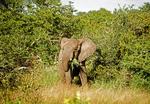 Elephant feeding on grass near Kruger National Park, South Africa.