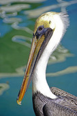 Florida Keys brown pelican at Islamorada.