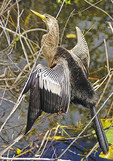 Anhinga bird on the Anhinga Trail in Everglades National Park, Florida.