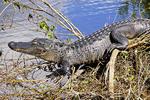 American alligator (alligator mississippiensis) Everglades National Park, Florida.