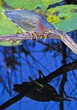 Green Heron (Butorides Virescens) in Everglades National Park, Florida.