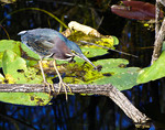 Green Heron (Butorides Virescens) in Everglades National Park, Florida.